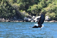 A fish eagle dives for its lunch.