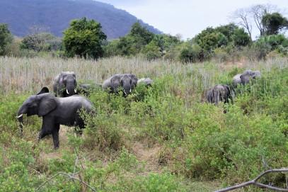 A heard of elephants near Liwonde.