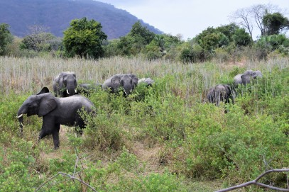 A heard of elephants near Liwonde.