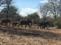 Elephants in Liwonde