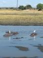 Hippos in Liwonde